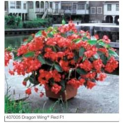 Begonia x hybrida 'Dragon Wing Red'