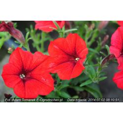 Surfinia® Table Dark Red (Petunia × atkinsiana)