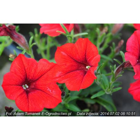 Surfinia®  Table Dark Red (Petunia × atkinsiana) - Ogrodnictwo Tomanek