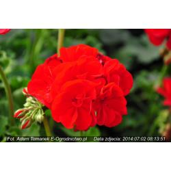 Pelargonia stojąca Grandeur® Power Red (Pelargonium x zonale)
