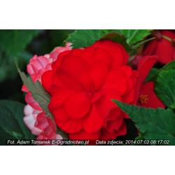 Begonia bulwiasta Nonstop®  Red