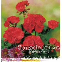 Pelargonia stojąca Grandeur® Classic Bright Red