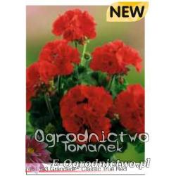 Pelargonia stojąca Grandeur® Classic True Red