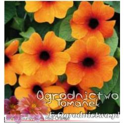 Tunbergia Sunny Susy Red-Orange