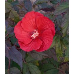 Hibiskus Summerific™ Midnight Marvel