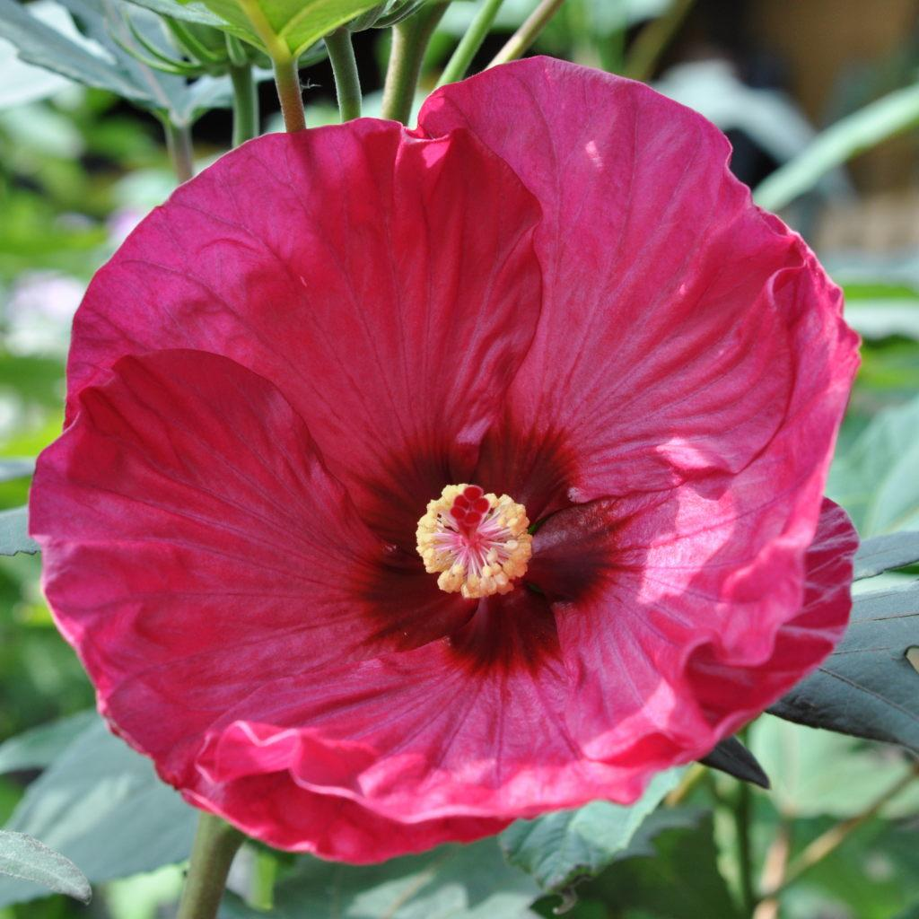 Image result for summerific berry awesome hibiscus